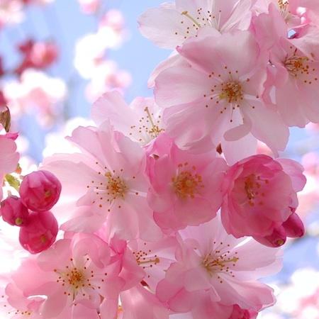 UNIQLO for Cherry Blossom